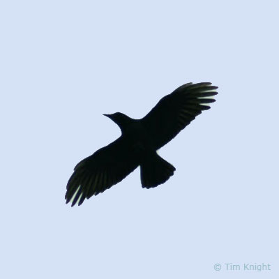 Crow Flying Over Head crow photo