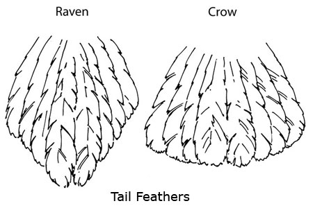 raven vs crow tail feathers