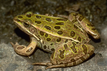 northern leopard frog photo