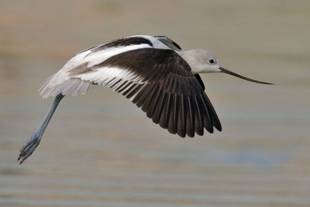 American Avocet photo by Natures Pics