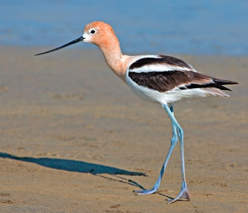 American Avocet Facts Naturemapping