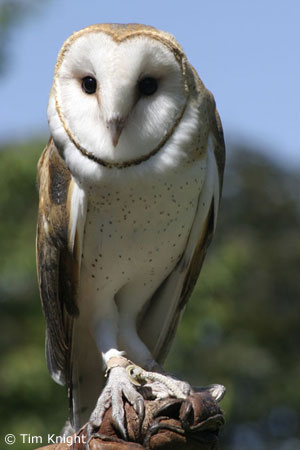 Barn Owl Facts for Kids - NatureMapping