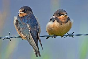 California NatureMapping - Barn Swallow Fact Sheet