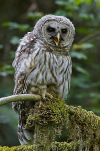 Barred-owl photo by NP
