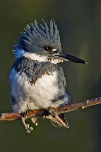 Belted Kingfisher photo by NP