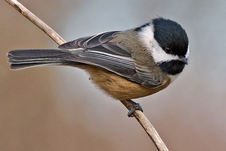 Black Capped Chickadee Photo By Natures Pics