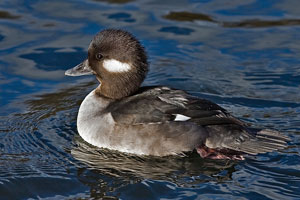 Bufflehead photo by NP