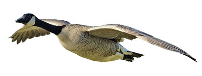 Canada goose head photo