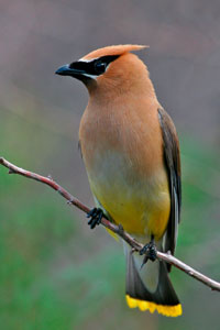 Cedar waxwing photo