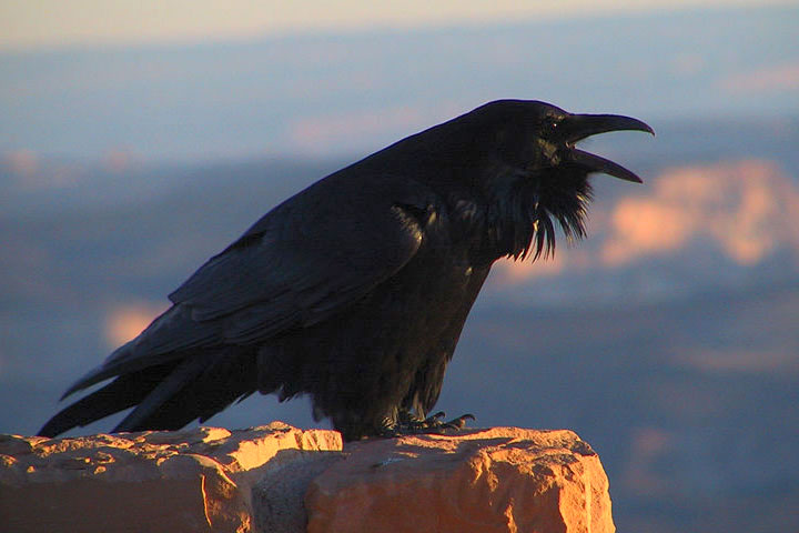 Common Raven Facts Naturemapping