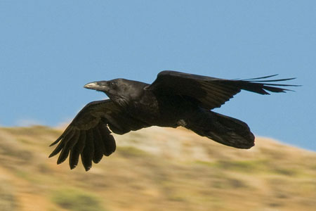 raven photo by Petersen