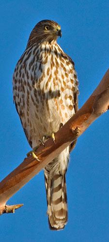 California Naturemapping Cooper S Hawk Fact Sheet