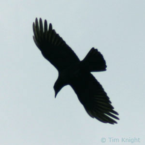 American Crow Facts NatureMapping - Bird map of the us crows