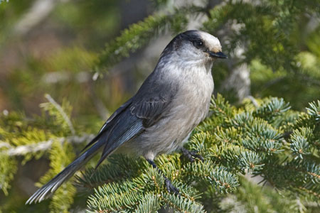 Gray Jay photo by Natures Pics