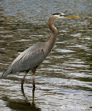 Great_blue_heron on Animal Facts Great Blue Heron