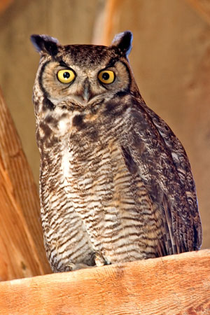 http://naturemappingfoundation.org/natmap/photos/birds/great_horned_owl_8754np.jpg