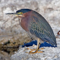 Green Heron photo by Alan Wilson