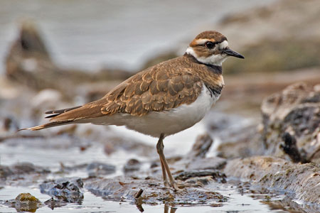 Killdeer photo by NP