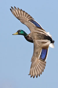 Male Mallard flying