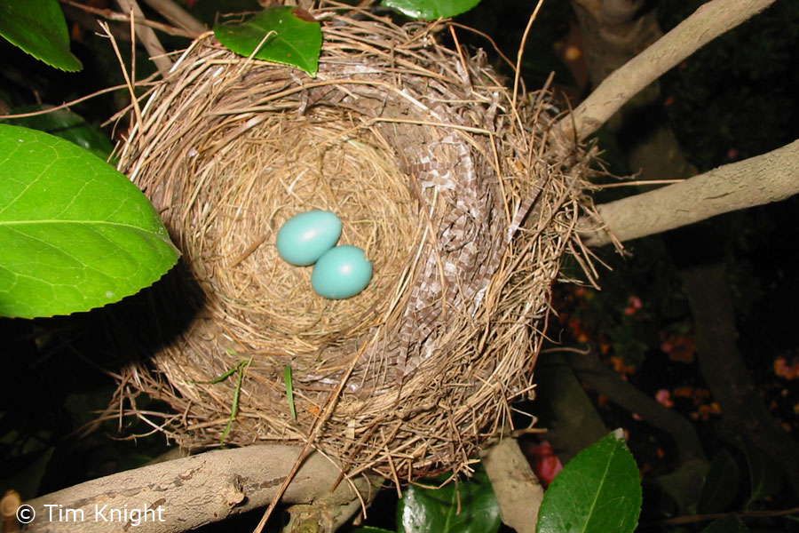 American Robin Nests and Eggs - NatureMapping