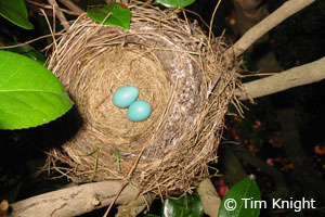 robin eggs photo by Tim Knight