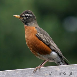 female robin photo by Tim Knight