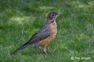 juvenile robin photo by Tim Knight