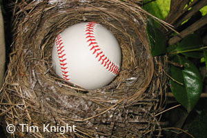 robin nest with baseball
