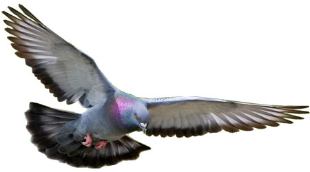Rock Dove photo