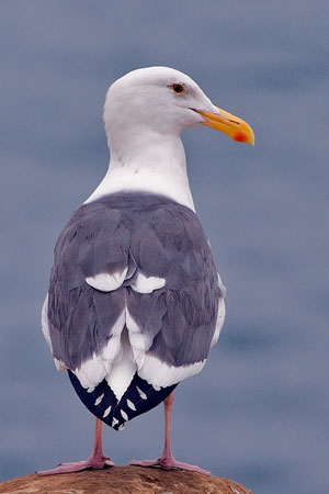 Western gull photo by NP