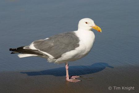 Female seagull - photo#42