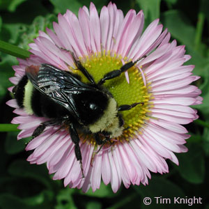 Bumblebee photo by Tim Knight