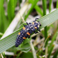Lady Beetle larvae