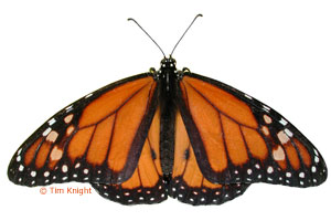 Monarch Butterfly Facts for Kids - NatureMapping