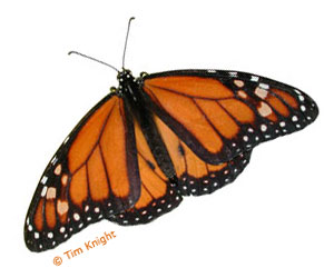 Monarch Butterfly Facts - NatureMapping