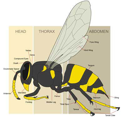wasp drawing