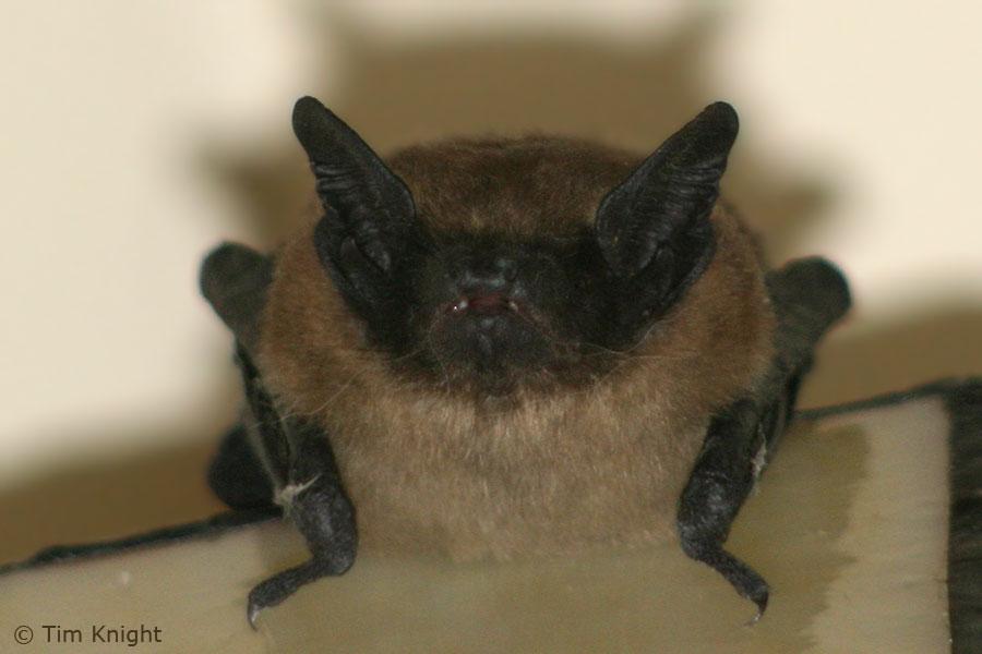 Big Brown Bat Facts - NatureMapping
