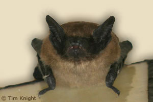 big_brown_bat photo