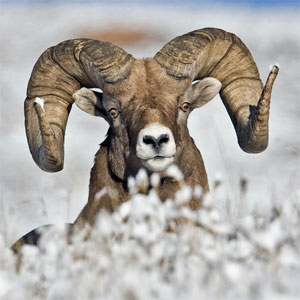 bighorn sheep photo by natures