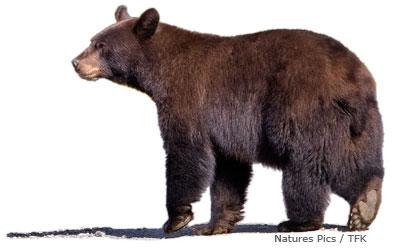 american black bear facts for kids naturemapping. Black Bedroom Furniture Sets. Home Design Ideas