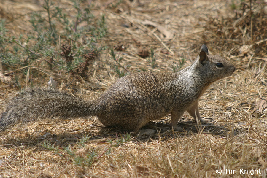 California Ground Squirrel Facts for Kids - NatureMapping
