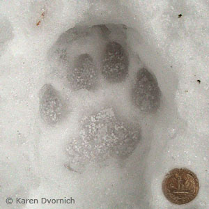 cougar paw print in the snow