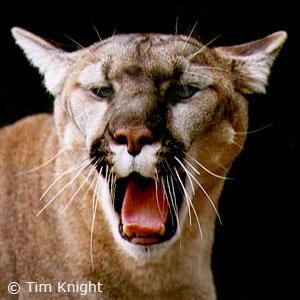 Mean cougar