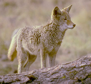 Coyote photo by Robert Abaum