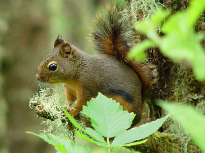 douglas_squirrel photo