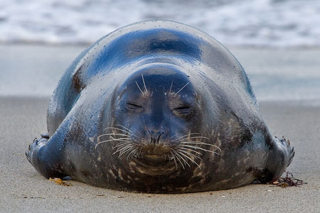 Harbor seal photo by Nature Pics