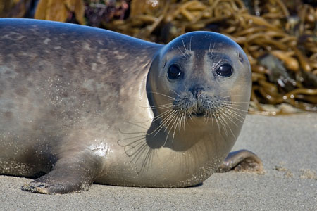 Harbor seal photo by NP
