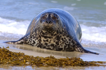 Harbor Seal photo by Alan Wilson
