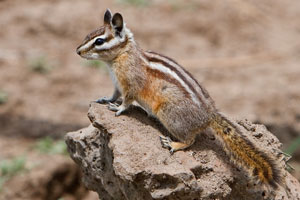 Least Chipmunk Tamias Minimus