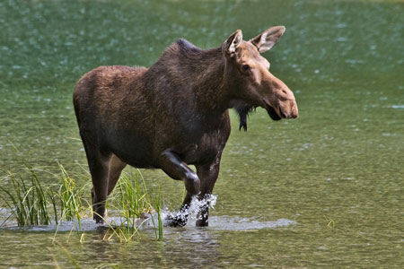 Moose photo by Natures Pics